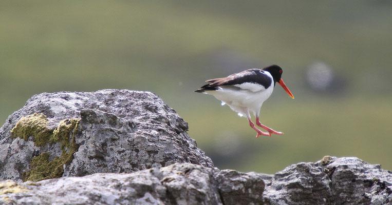 Austernfischer - Schottland