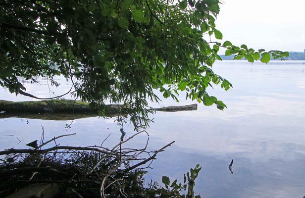 ... auch im Plöner-See hat es einen Kaiman
