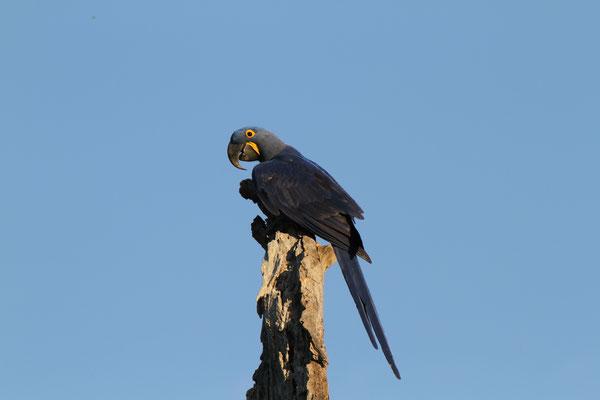 Hyazinthara - Fazenda Barranco Alto Lodge, Brasilien, mit 1 m Länge und 1,5-1,7 kg Gewicht der grösste Papagei