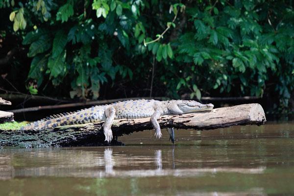 Man kann sagen, dieses Krokodil ist total tiefenentspannt