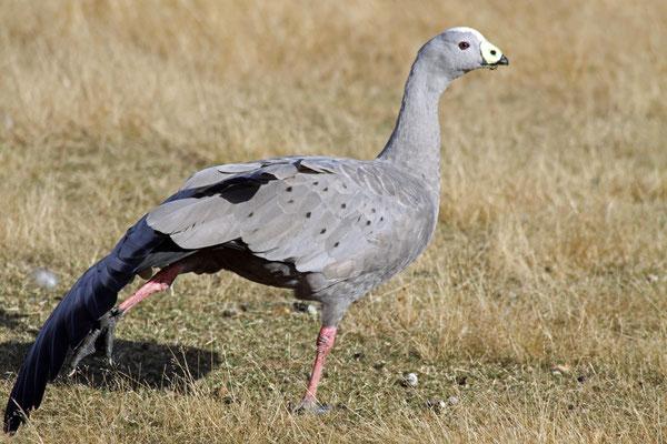 Hühnergans - Australien