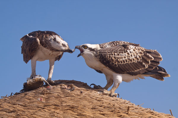 Fischadler - Ägypten