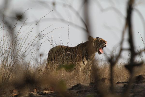 Tiger frei lebend - Indien