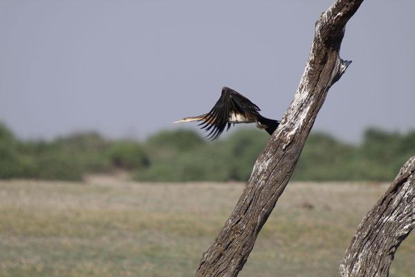 Schlangenhalsvogel - Chobe River, Afrika