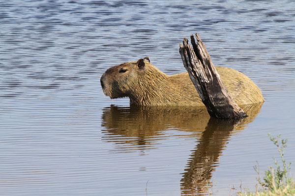 Capybara oder auch Wasserschwein - Pantanal (verwandt mit den Meerschweinchen, grösstes Nagetier)