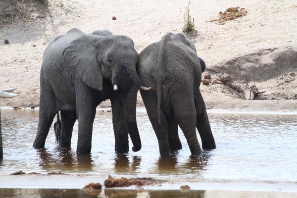Elefanten - Afrika