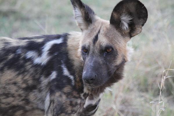 Afrikanischer Wildhund - Afrika