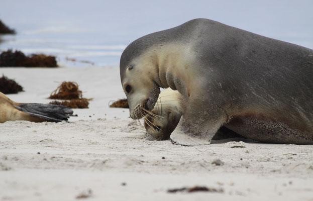 Seelöwen - Australien