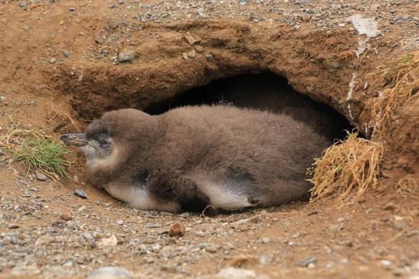 junger Magellan Pinguin - Isla Magdalena, Punta Arenas, Chile