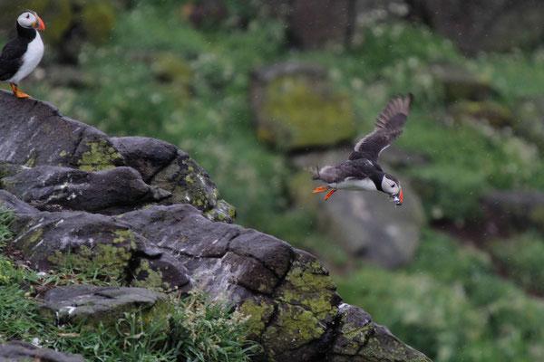 Papageientaucher - Schottland
