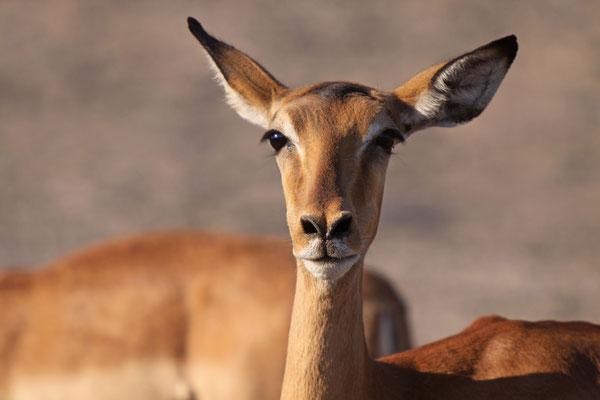 Impala - Chobe River, Afrika