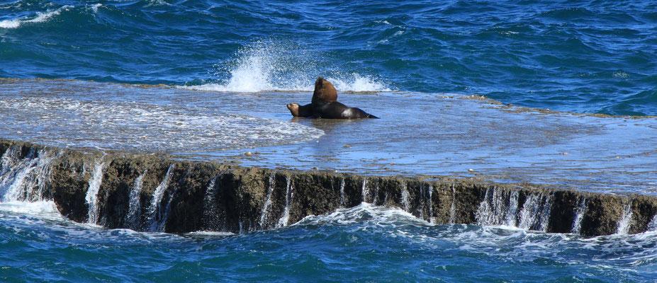 Seebären, Seelöwen oder Mähnenrobben - Halbinsel Valdés, Argentinien