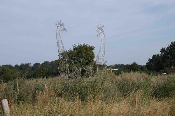 nachdem der Bestand der Giraffen in Afrika ebenfalls gefährdet ist, versucht man sie jetzt in Deutschland anzusiedeln