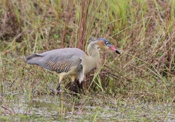 Pfeifreiher - Pantanal, Brasilien