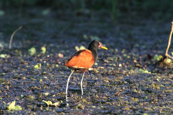 Blatthühnchen - Pantanal, Brasilien