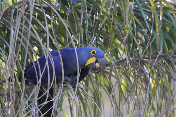 Hyazinthara - Pantanal, Brasilien / grösste Papageienart, ihr Bestand ist bedroht