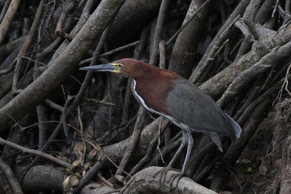Marmorreiher - Pantanal, Brasilien