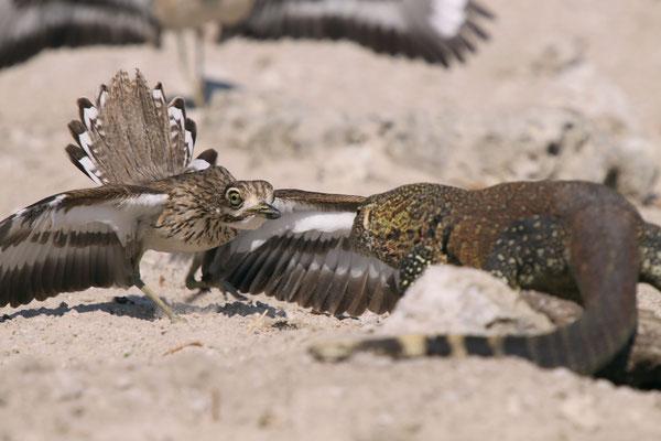 Triele verteidigen ihr Gelege gegen einen Bindenwaran am Chobe River, Afrika