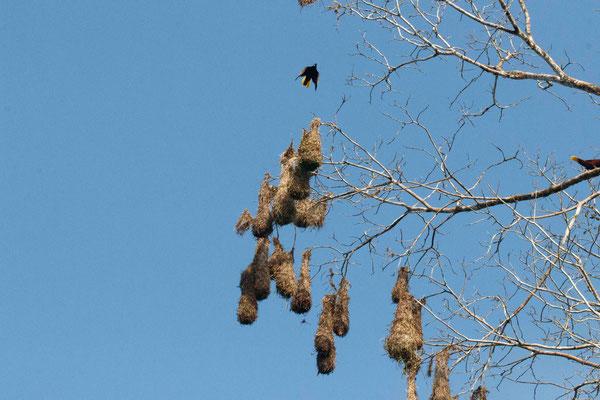 Das sind die Nester des Oropendola