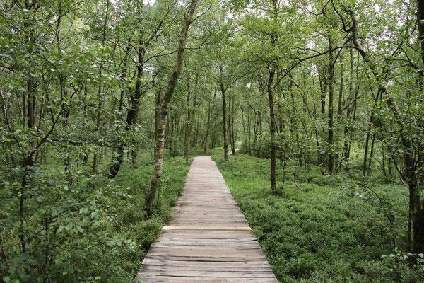 Steg mitten durch einen Karpaten-Birkenwald
