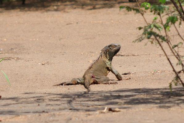 Mit wem dieser Leguan wohl eine Auseinandersetzung hatte?