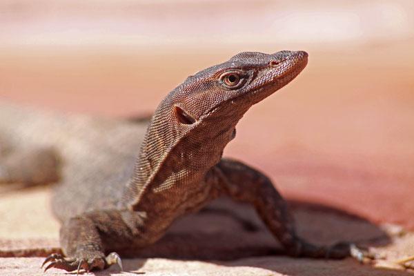 Riesenwaran - Australien