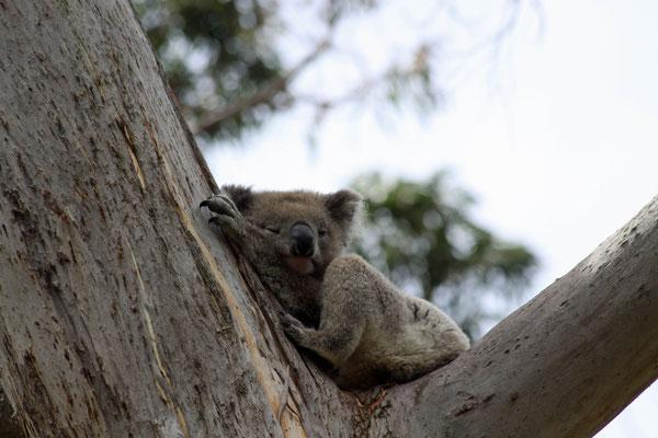 Koala - Australien