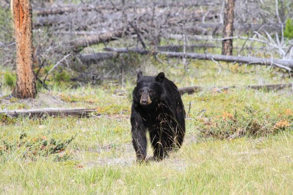 Schwarzbär - Kanada