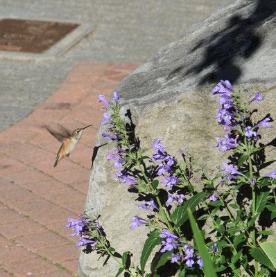 Kolibri - Kanada