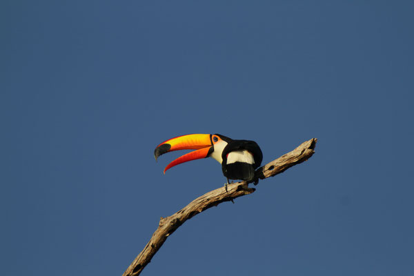 Riesentukan - Pantanal, Brasilien