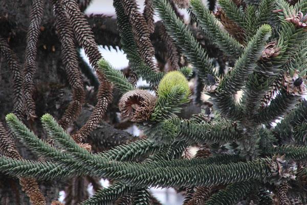 Araukarie mit Früchten. Habe ich noch nie gesehen.