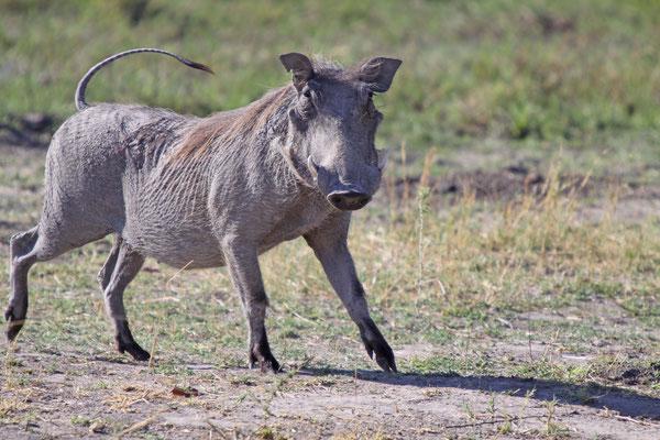 Warzenschwein - Afrika