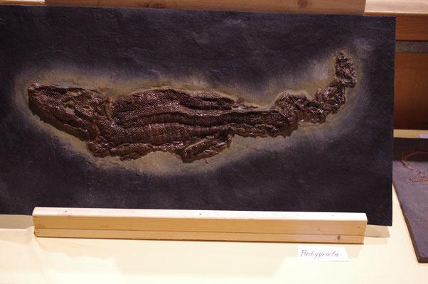 Messel Fossilien