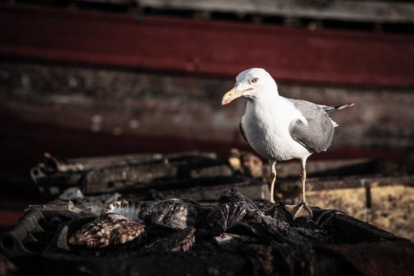 Essaouira gull