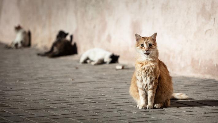 Essaouira cat gathering
