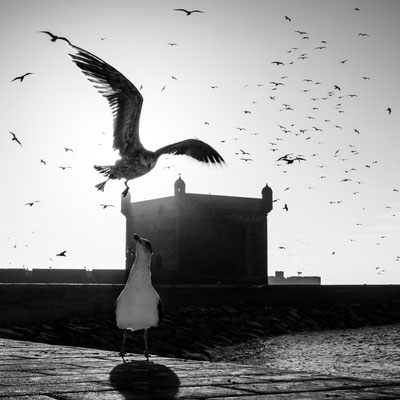 Essaouira gulls with port fortification