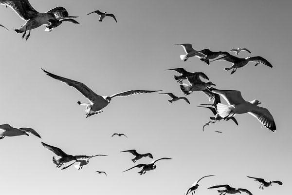 Essaouira gulls