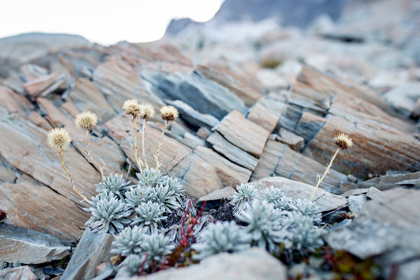 In den Geröllfeldern rund um die Mueller Hut wachsen alpine Pflanzen.