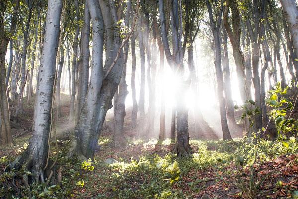 Urlaub in Deutschland: Im Nationalpark Jasmund auf Rügen steht auf ca. 2100 Hektar der größte zusammenhängende Buchenwald der Ostseeküste. (c) Salomé Weber