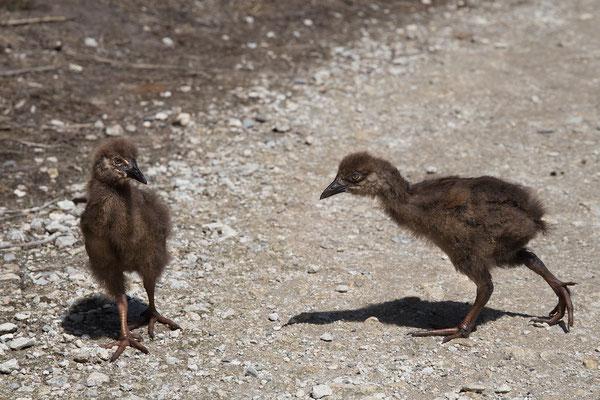 Wekas findet man fast überall an der Westküste. Wenn die cleveren Vögel in der Nähe sind, sollte man besser auf seine Sachen aufpassen.