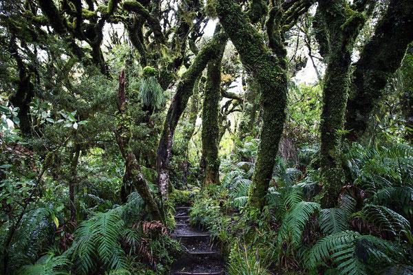 Goblin Forest im Egmont Nationalpark in der Nähe von Taranaki, Neuseeland (c) Salomé Weber