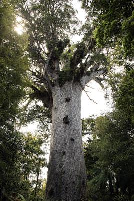 Tāne Mahuta, ein neuseeländischer Kauri Baum, ist der größte Baum Neuseelands (c) Salomé Weber