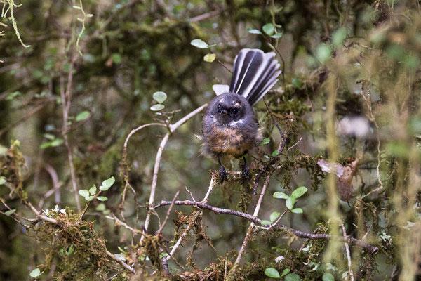 Fantails sind die stämdigen Begleiter auf den Wanderwegen an der Westküste der Neuseeländischen Südinsel. (c) Salomé Weber