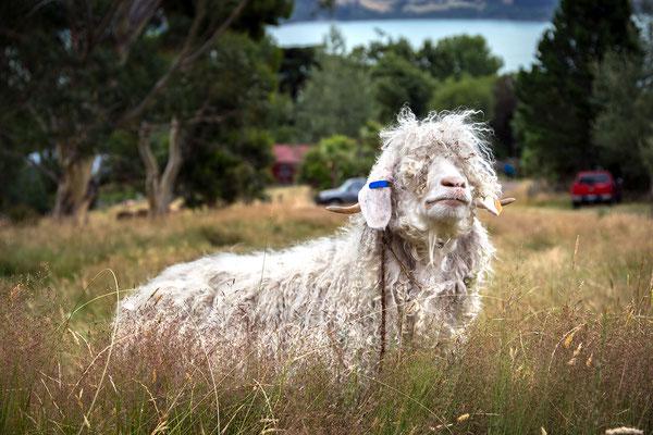 Was geht ab? Schaf in Neuseeland (c) Salomé Weber