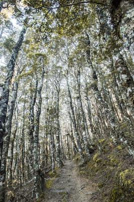 Buchenwald im Nelson Lake Nationalpark, Neuseeland (c) Salomé Weber