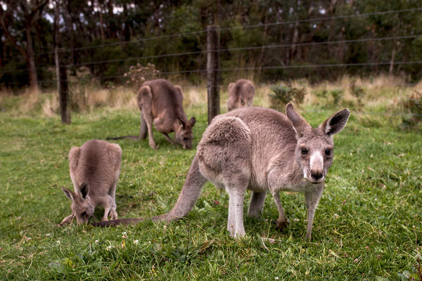 Kängurus, Australien (c) Salomé Weber