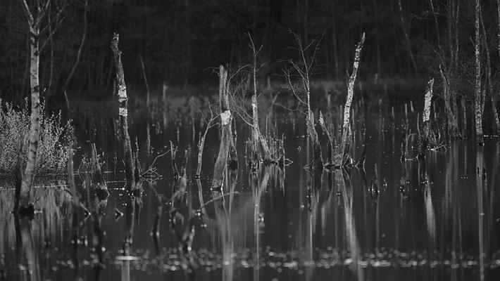 Hohes Moor Bremervörde Birken im Wasser