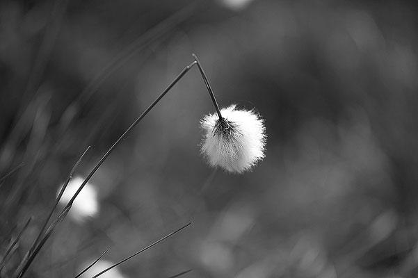 Hohes Moor Bremervörde Herbst Wollgras geknickt