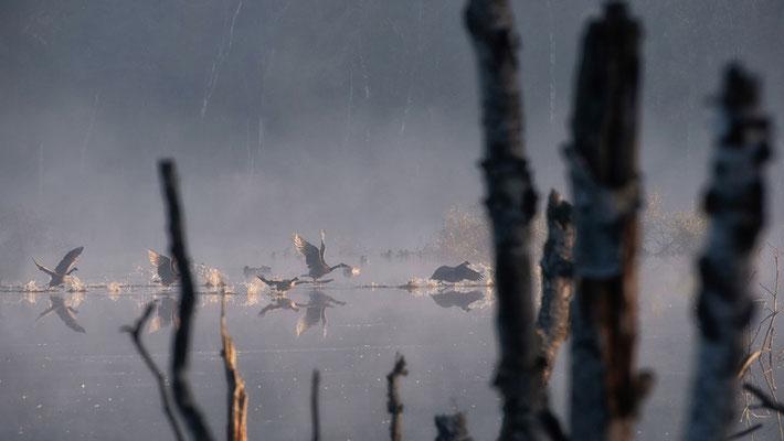 Hohes Moor Bremervörde Herbst morgens Gänse im Flug