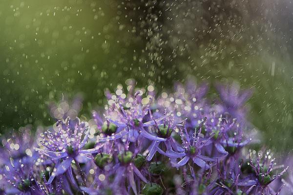 Allium pink im Regen Bremervörde Deutschland